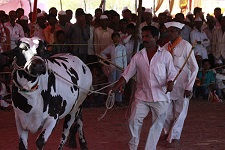Top Breed Event: Cattle Trade In Ghoti