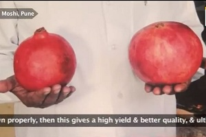 'Wonderful' Pomegranate: A Boon to Farmers