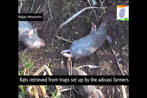 RATS - A DELICACY IN MUMBAI'S OUTSKIRTS